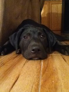 Mind Blowing Facts About Labrador Retrievers And Ideas. Amazing Facts About Labrador Retrievers And Ideas. Black Lab Puppies, Cute Puppies, Cute Dogs, Dogs And Puppies, Corgi Puppies, Doggies, Labrador Noir, Black Labrador Retriever, Labrador Retrievers