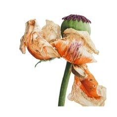 Part of a series of 6 paintings of Papaver Orientale.