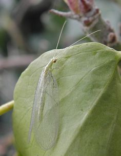 Lacewing - beneficial insect