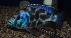 Over members talking cichlids Malawi Cichlids, African Cichlids, Exotic Pets, Exotic Animals, Rift Valley, Colorful Birds, Aquariums, Washing Clothes, Wildlife