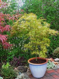 Full Size Picture Of Japanese Maple U0027Kamagatau0027 (Acer Palmatum) Great For  Border. Patio PlantsPotted ...