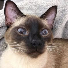 Food for you cats  Wet meats: Mix things up at dinner time with some moist meats like fresh lamb. The moisture promotes a healthy urinary tract. Contains: water ------------------------- Photo: Social Media ------------------------- #siamesecat #siameseca