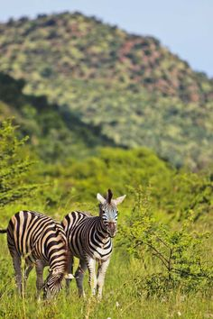 Pilanesberg Park Safari - an Amazing Day Trip from Johannesburg South Africa // localadventurer.com