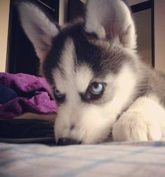 Husky Face!