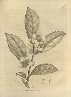 Camellia Sinensis - tea flower
