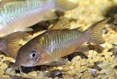Corydoras pantanalensis=female