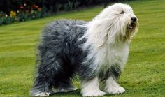 Shaggy Old English Sheep Dog