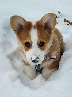 Awwww Cute Corgi puppy in the snow Cute Corgi, Corgi Dog, Cute Puppies, Dogs And Puppies, Beagle Puppies, Corgi Pembroke, Cute Funny Animals, Cute Baby Animals, Animals And Pets