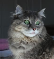 Maine coon cats for sale pennsylvania