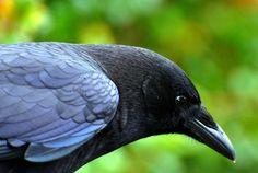 Oregon Coast Crow Portrait 113: Blue Shoulder in the Sun | Flickr - Photo Sharing!