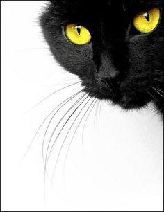 chat noir