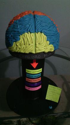 Maqueta del cerebro humano
