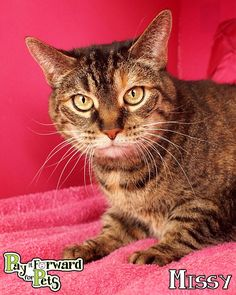 Meet Missy *Bonded with Justin, a Petfinder adoptable Tabby Cat | Akron, OH | Adopting a friend~Dogs (and puppies) are $ 90.00 : $ 76.00 for the adoption / $ 14.00 for the...