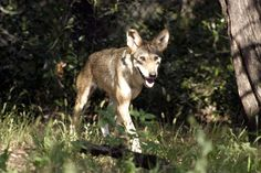 Red wolf at Fossil Rim Wildlife Center, a Red Wolf Species Survival Plan participant, photo credit theirs.