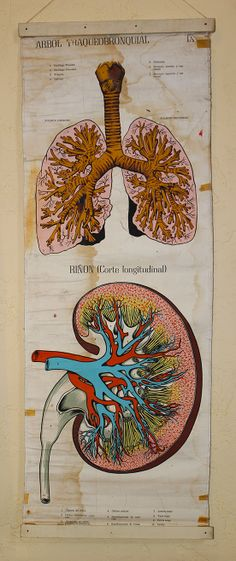 Vintage Original Medical Chart - The Lungs & Kidney. Spanish.