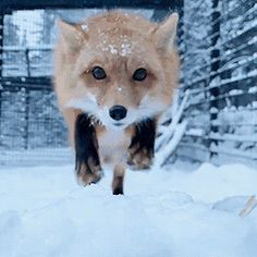Animals And Pets, Baby Animals, Fox Running, Fox Gif, Fox Pictures, Amazing Gifs, Cute Fox, Tier Fotos, Cute Funny Animals