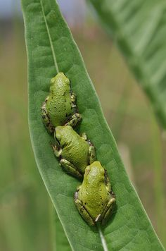 Peas in a pod. :) Frogs.