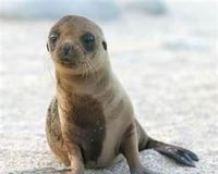 Demand protections to save the Stellar Sea Lions. http://www.thepetitionsite.com/669/184/731/demand-protections-to-save-the-stellar-sea-lions/?cid=FB_TAF# @Sea Shepherd Conservation Society #defendconserveprotect