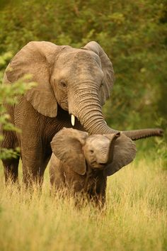 African elephants - mom watching over her baby