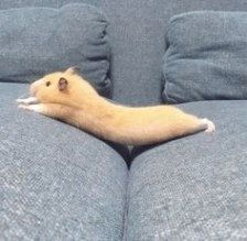 This sub is dedicated to hamsters and their humans. Cute Animal Memes, Cute Funny Animals, Funny Animal Pictures, Cute Dogs, Cute Pictures, Beautiful Pictures, Funny Hamsters, Dwarf Hamsters, Funny Rats