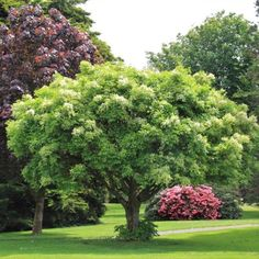 A hardy, compact smaller tree with clusters of fluffy white fragrant flower late October through to November. Has excellent autumn tones from gold to purple. Hardy street tree and park specimen. Deciduous, grows to 6-8m. Hardy to wind and semi coastal zones.