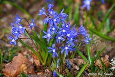 VÅRSTJÄRNA En söt lökväxt som sprider sig mer och mer för varje år. Samsas med Scilla och Vårlök och täcker stora delar av gräsmattan.
