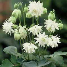 Aquilegia vulgaris 'Tower White'
