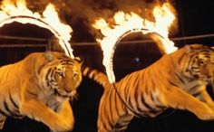 Victory! Belgium Bans Wild Animals in Circuses! Hooray for Belgium! This is great news for the animals!
