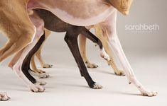 Italian Greyhound Pet Photography | Sarah Beth Photography | Minneapolis Saint Paul Minnesota Dog & Pet Photographer | Studio Pet Photography | Joy Sessions