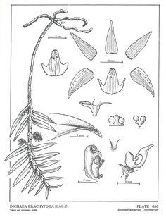 Image result for Dichaea brachypoda