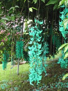 Jade vine, Strongylodon macrobotrys , on the farm   		south of Armenia.