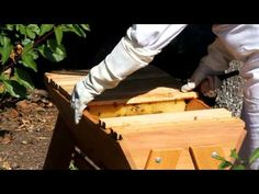 Re-queening a Top Bar hive with a queen cell