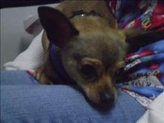 Luna is an adoptable Chihuahua Dog in Branchburg, NJ.  Primary Color: Tan Age: 0yrs 10mths 0wks  Animal has been Spayed...