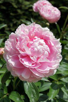 Beautiful garden Walls - Peonies in Clare's garden in New Jersey Leaf Flowers, Pink Garden, Rose Flower, Beautiful Flowers, Peonies Garden, Trees To Plant, Beauty Gardens, Flowers, Beautiful Rose Flowers
