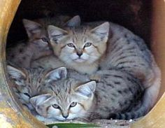 sand cats - Google Search