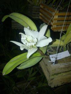(50) Orquidea blanca