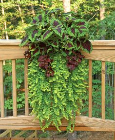 Window box idea using coleus.