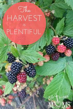 The Harvest is Plentiful - All Things Moms Christian Women, Have Time, Harvest, All Things, Proverbs 31, Comfort Zone, Fruit, Blackberries, Times