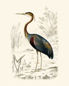 Purple Heron vintage print: This is a painstakingly detailed print of the purple heron: an tall, elegant slender bird.