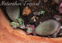 Hojas de la planta Crepúculo formando nuevas rosetas, x Graptosedum 'Vera Higgins'