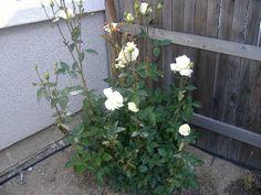 Sacramento Vegetable Gardening: For You, My Love
