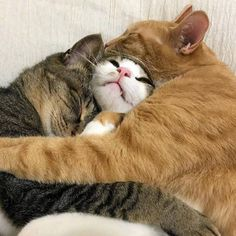 yoongi de gato branco pedindo socorro enquanto dorme com seus namorados vulgos jimin e jeongguk Cool Cats, I Love Cats, Crazy Cats, Cute Kittens, Cats And Kittens, Animals And Pets, Baby Animals, Funny Animals, Cute Animals