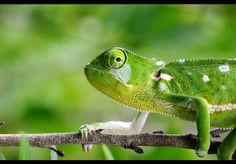 Chameleon. Doe mee aan de National Geographic Fotowedstrijd 2013 en maak kans op een prachtige verre reis!