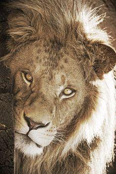 Sternzeichen Löwe Paar die 383 besten bilder von mein sternzeichen in 2018   big cats, lion