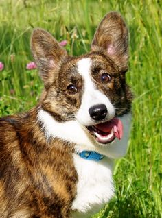 Cardigan Welsh Corgi Puppies, Pembroke Welsh Corgi, Silly Dogs, Cute Dogs And Puppies, Cowboy Corgi, Dog List, Purebred Dogs, Best Dog Breeds, Cute Creatures