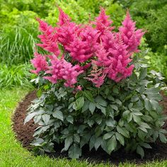Astilbe Drum and Bass. A new and improved astilbe with significantly more flowers than older varieties and more sun and drought tolerance. Bright, rose-pink flowers bloom for weeks in midsummer.