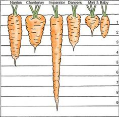 Lawn and Garden Tools Basics Carrot Varieties To Sustain You All Year - Mother Earth News By Choosing The Right Carrot Varieties And Making Spring And Summer Sowings, You Can Eat Fresh Carrots Year-Round. Growing Gardens, Farm Gardens, Small Gardens, Outdoor Gardens, Growing Carrots, Growing Veggies, Fruit Garden, Vegetable Garden, Permaculture