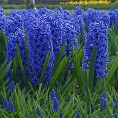 Die Hyazinthe 'Blue Jacket' blüht in leuchtendem Royalblau. Gepinnt von www.fluwel.de - Onlineshop für Blumenzwiebeln