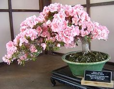 Japanese cherry bonsai..... if I cannot have a weeping cherry tree, then I want this!!