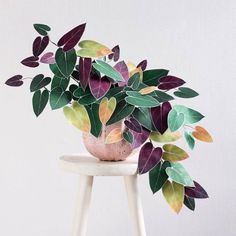 Absolutely love these Tricolors leaves🤗 Are these even real?😉 Tag Someone that needs to see this!👇🏻💚 🌿Follow us @olivra.houseplants…